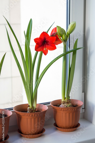 Potted amaryllis bulbs on window sill, blooming red hippeastrums in spring time, Wallpaper Mural