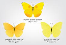 Butterfly Sulphur Set Vector Illustration