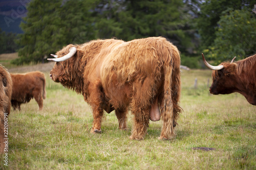 Recess Fitting Buffalo Semental escocés