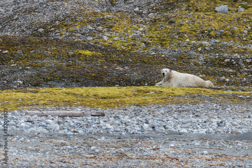 Male polar bear on Svalbard