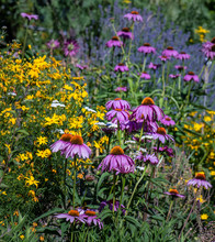 Outdoor Garden Nature Floral Image Of A Meadow With Violet Pink Orange Coneflowers And Yellow Calliopsis And Lavender In The Background