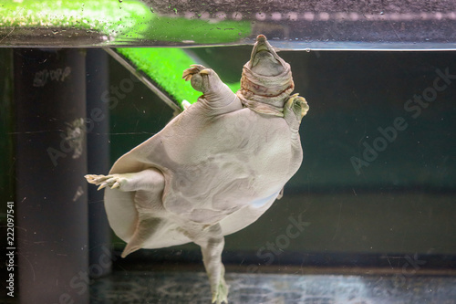 Plakat Żółw w wodzie w akwarium