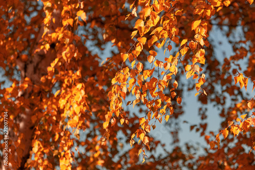 Red leaves on birch trees in autumn