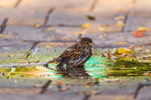 Sparrows Swim In A Puddle In The Midday Heat. Birds In City.