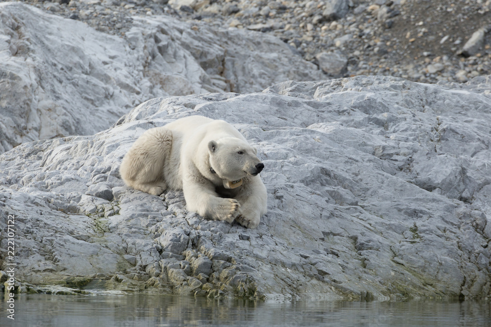 Female polar bear with collar in Svalbard.