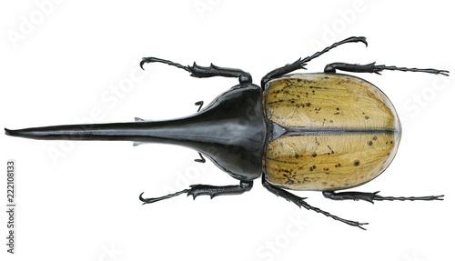 Fotografiet Dynastes hercules -a rhinoceros beetle (Dynastinae)