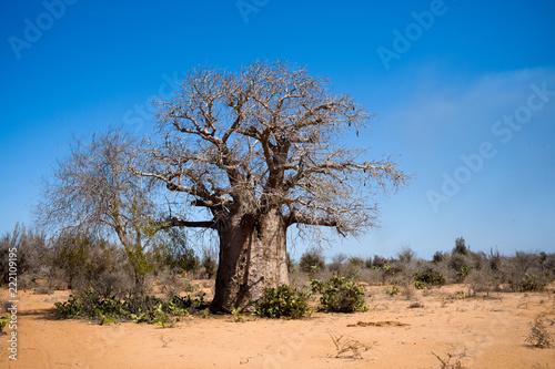 Staande foto Baobab baobab Madagascar