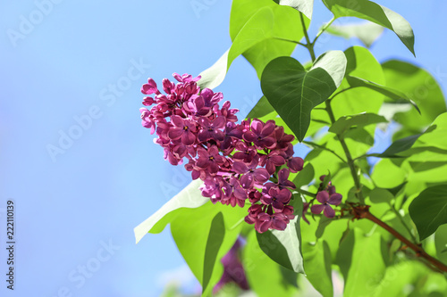 Blossoming lilac against blue sky