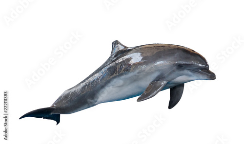 Photo grey common bottlenose dolphin on white