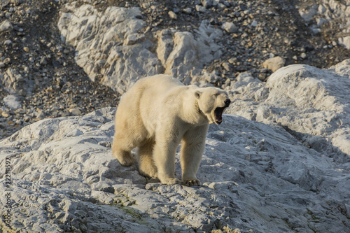 Tuinposter Ijsbeer Female polar bear with collar in Svalbard.