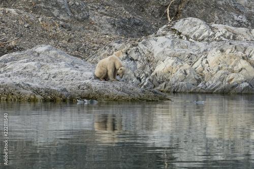 Deurstickers Luipaard Female polar bear with collar in Svalbard.