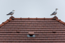 Gull On The Roof Of A House In...