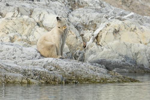 In de dag Ijsbeer Female polar bear with collar in Svalbard.