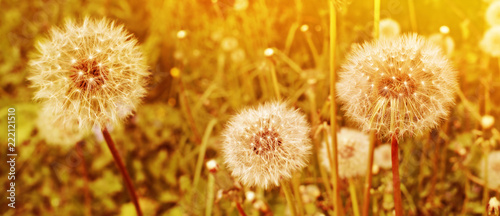 Poster Pissenlit Dandelion close up on natural background. Sunset summer meadow with dandelion flowers