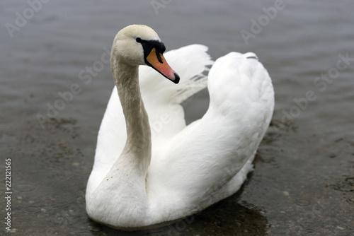 Keuken foto achterwand Zwaan Loch Lomond Swan