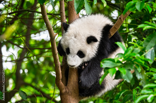 Giant panda bear in China Fototapeta