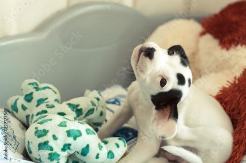 Fotografie, Obraz  Precioso cachorro blanco con manchas negras en la cara, de cuerpo entero, rascán