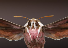Fliegender Nachtfalter Frontal Als Studioaufnahme, Wolfsmilchschwärmer