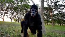 Scary Gorilla Walks Pass, A Wo...