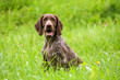 canvas print picture - german shorthaired pointer, german kurtshaar one brown spotted puppy sit on the green high grass outside, brown ears and white spot coloring, eyes look into the camera,