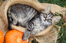 Small Cat Lies In Basket. Cat And Pumpkins.