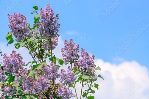 Keuken foto achterwand Lilac branch with spring lilac flowers