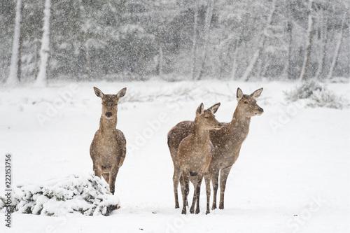 Rehe vor verschneitem, winterlichen Wald