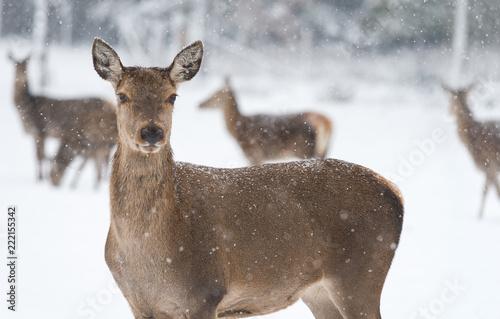 In de dag Ree Rehe vor verschneitem, winterlichen Wald