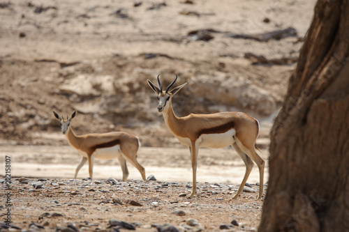 Springbok in desert landscape Namibia