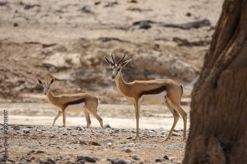 Deurstickers Antilope Springbok in desert landscape Namibia