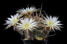 Cactus Lobivia Dulci-pauli Wit...
