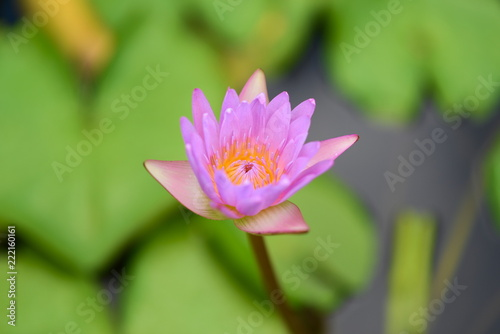 Staande foto Lotusbloem Pink Lotus flower in the peaceful pond.