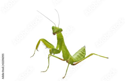 Obraz na plátně  beautiful mantis on white