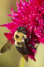 Bumble Bee On A Red Celosia Flower In Elizabeth Park.