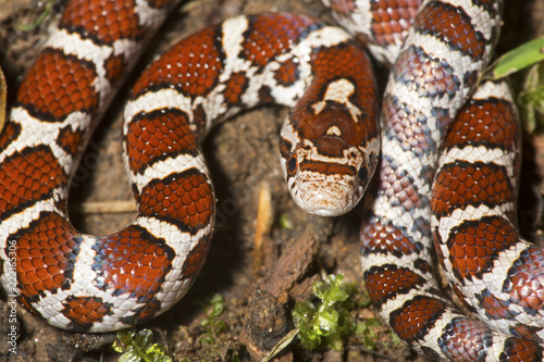 Closeup of young milk snake on garden soil in Connecticut.