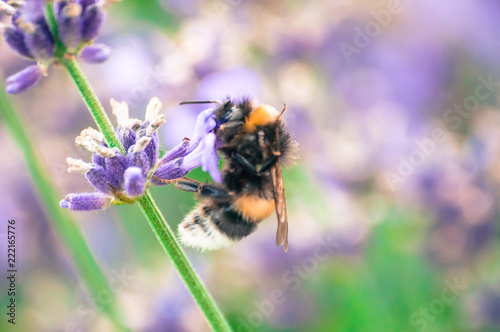 Close-up of bumblebee drinking nectar from wildflower Fototapete