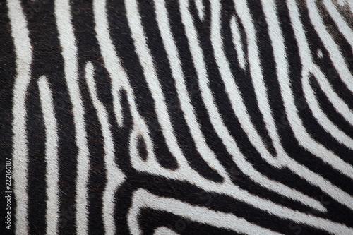 Poster Zebra Grevy's zebra (Equus grevyi). Skin texture.