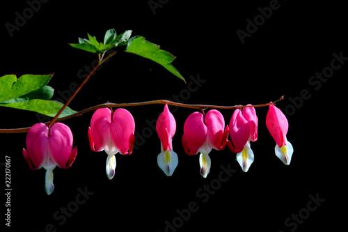 Fotografie, Obraz  Pink bleeding heart flowers on black background