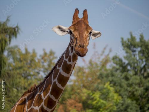 Giraffe is eating