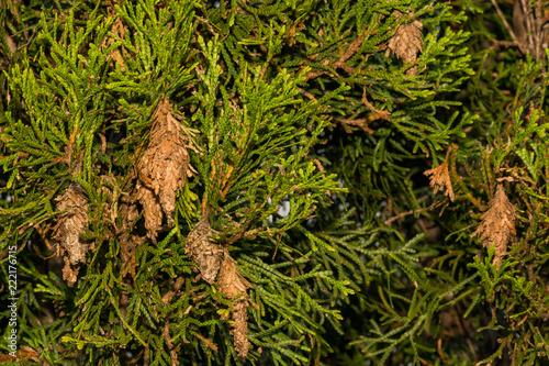 Evergreen Bagworms (Thyridopteryx ephemeraeformis)