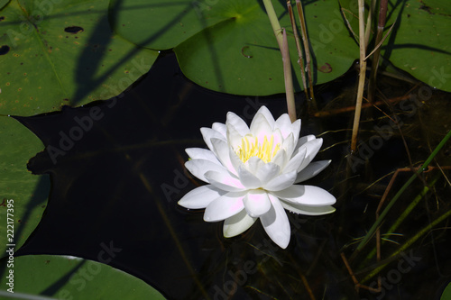 Fotografie, Obraz  Close Up of White Water Lotus With Yellow Center Surrounded By Green Lily Pads I