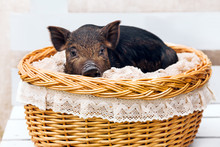 Pig Piglet Little Black Basket White Background Wicker Cute Vietnamese Breed New Year Happy
