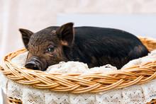 Pig Piglet Little Black Basket White Background Wicker Cute Vietnamese Breed New Year Happy