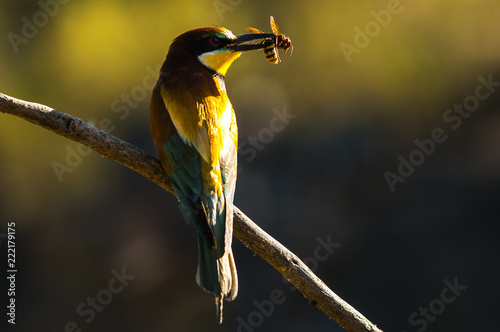 Leinwand Poster Bee-eater (merops apaister) with a prey in its bill