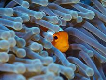 Clownfish Hide