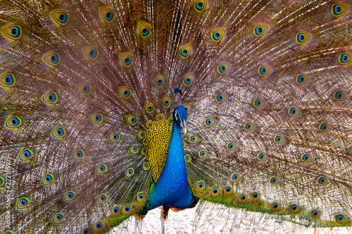 Foto op Aluminium Pauw Beautiful Peacock portrait with tail feather out