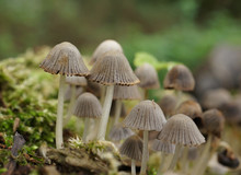 Coprinellus Disseminatus (form...