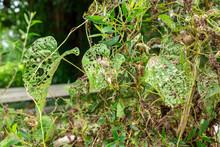Air Potato Plant (Dioscorea Bu...