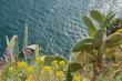 Large opuntia cactus growing wild