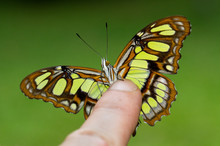 A Beautiful Green Butterfly Perched On A Finger